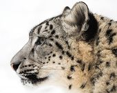 image of snow-leopard  - Profile Portrait of Snow Leopard in Snow - JPG