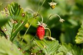 stock photo of strawberry plant  - Wild strawberries plant with red ripe berry - JPG