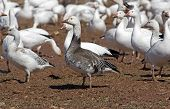 Постер, плакат: Greater Snow Geese Feeding