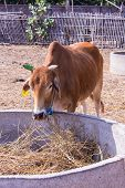 picture of feedlot  - Thai Cows Eating In The Farm  - JPG
