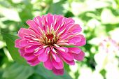 stock photo of zinnias  - pink zinnia flower in garden under sunshine - JPG