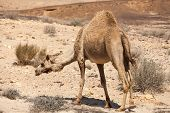 picture of hump  - Camel with one hump is in the desert - JPG