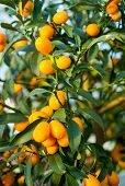 picture of kumquat  - ripe kumquat fruit on the tree in the Orchard - JPG
