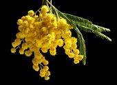 foto of mimosa  - Beautiful sprig of mimosa on back background - JPG