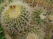 foto of mother law  - Mother in laws cushion or Golden ball barrel cactus (echinocavtus grusonii) on Fuerteventura one of the Canarian islands in the Atlantic Ocean