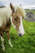 image of iceland farm  - An Icelandic horse roaming free in west Iceland - JPG