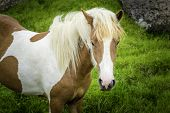 stock photo of iceland farm  - An Icelandic horse roaming free in west Iceland - JPG