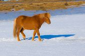 image of iceland farm  - Local Icelandic horse located in northern Iceland - JPG