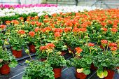 pic of greenhouse  - Greenhouse with colorful blooming geranium flowers for sale and gardening. Busy season in greenhouse in spring.