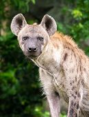 stock photo of hyenas  - Portrait of hyena standing in front of natural scene in the evening - JPG