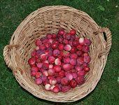image of bohemia  - autumn apple harvest south Bohemia - JPG
