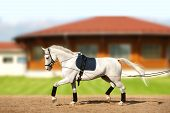 foto of reining  - white horse coaching by reins in movement - JPG