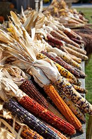 picture of wagon  - Autumn harvest time brings in wagon loads of dried indian corn and is displayed on this road side farmers wagon - JPG