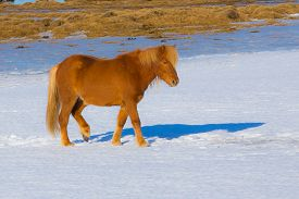 stock photo of iceland farm  - Local Icelandic horse located in northern Iceland - JPG