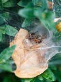 stock photo of cobweb  - spider in cobweb close up on boxwood bush outdoor - JPG