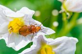 pic of potato bug  - soldier beetle in potato flower close up in summer garden - JPG