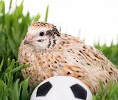 stock photo of quail  - Cute adult quail in the green grass with soccerball over white background - JPG