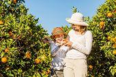 picture of mandarin orange  - Smiling happy mother and son harvesting oranges and mandarins at citrus farm - JPG