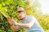 foto of mandarin orange  - Cheerful young man harvests oranges and mandarins on citrus farm on sunny summer day - JPG