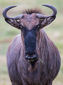 foto of stare  - Wilderbeest or Gnu antelope with a funny staring expression - JPG