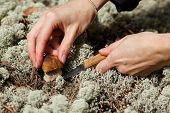 picture of boletus edulis  - Mushrooming - JPG