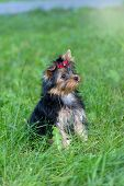 foto of yorkshire terrier  - Puppy Yorkshire Terrier walking in the Park on green grass - JPG
