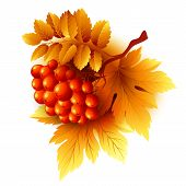 foto of rowan berry  - Rowan branches with orange leaves and berries - JPG