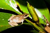 stock photo of rainforest  - Small frog at big leaf in rainforest borneo malaysia - JPG