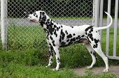 picture of spotted dog  - Dalmatian dog costs around metal mesh summer - JPG