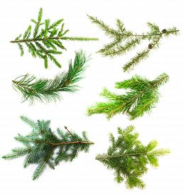 picture of juniper-tree  - Set of branches of coniferous trees isolated on white background - JPG