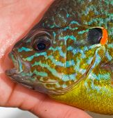 image of bluegill  - Portrait close - JPG