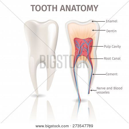 Realistic Illustration Tooth Anatomy In