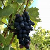 Hanging Beautiful Bunches Of Grapes Outdoors In Rural. Ripe Tasty Grape Vines At Vineyards, Ready To poster