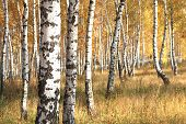 Beautiful Scene With Birches In Yellow Autumn Birch Forest In October Among Other Birches In Birch G poster