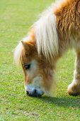 Child Horse Eats The Grass In A Farm.it Is Light Brown And Dark Brown Mixed With Long Hair And Fuzzy poster