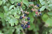 Wild Blackberries Growing In A Countryside Hedgerow, Also Called Wild Brambles, The Fruits Are Forag poster