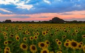 Sunflowers Field Farm On Evening In Lop Buri , Beautiful Flower Field Concept Field On Evening poster