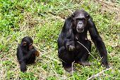 pic of baby-monkey  - A chimpanzee and young chimpanzee in zoo that is begging some feed - JPG