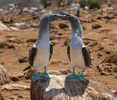 foto of blue footed booby  - highly detailed image of blue - JPG