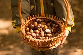 Basket With Acorns And Cashmere In The Hands Of A Child, Autumn. In The Hands Of Children Basket Wit poster