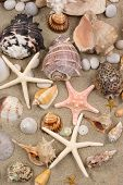 picture of sanddollar  - Seashell background - JPG