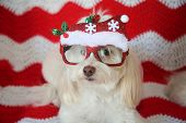 Funny Dog Photo. A beautiful white dog pose while wearing Christmas Fashion Glasses. Red and white q poster