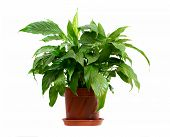 stock photo of pot plant  - houseplant in pot isolated on white background - JPG