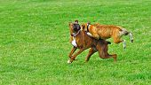 stock photo of seeing eye dog  - A pair of Brindle Boxer dogs playing in a dog park with the blur of the green grass as they run through the park - JPG