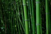 image of bamboo forest  - Bamboo Forest - JPG