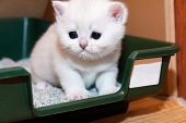 Tiny White British Kitten Sitting In A Tray With Cat Litter, Kitten Muzzle Stained With Milk That He poster