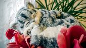Close Up Of Cute Kitten Slipping Near The Window. Beautiful Lazy Gray Striped Purebred Cat In A Sunn poster