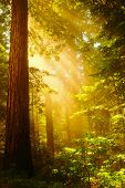 stock photo of redwood forest  - Inspiring Redwoods  - JPG