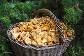 Wicker Basket With Wild Mushrooms Chanterelles On Juniper Needles Background poster