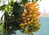 pic of senorita  - Bunch of filipino senorita bananas. Some ripe. Some not so ripe.